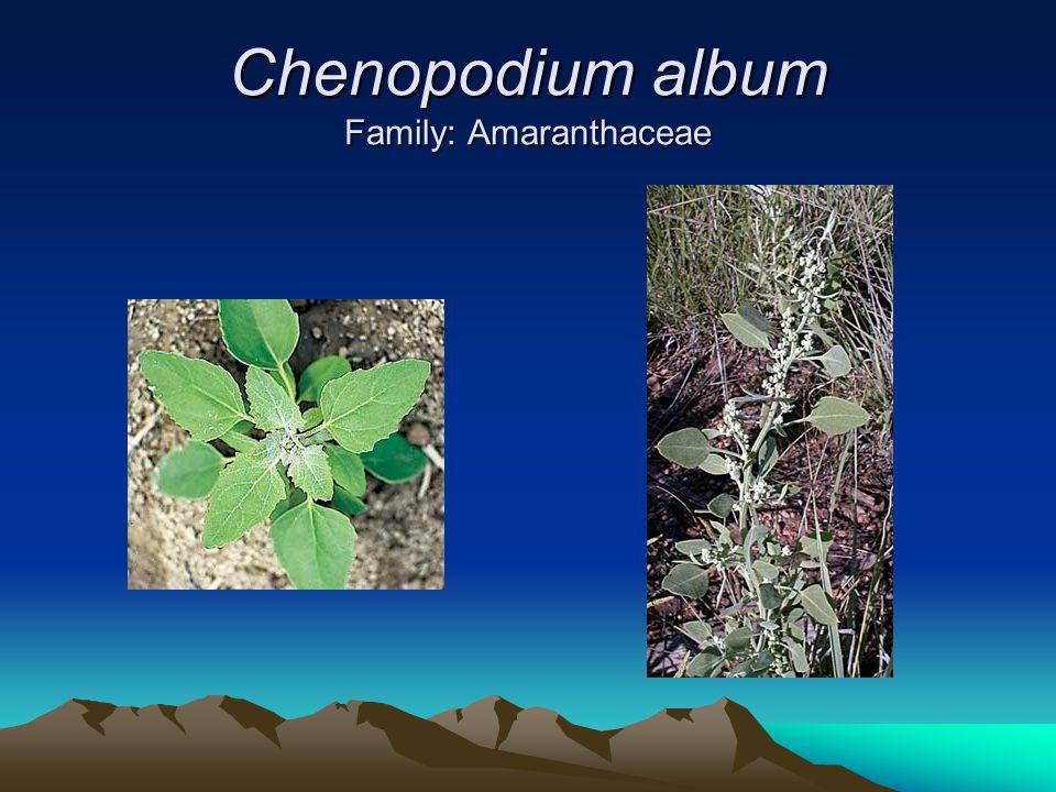 Chenopodium album Family: Amaranthaceae