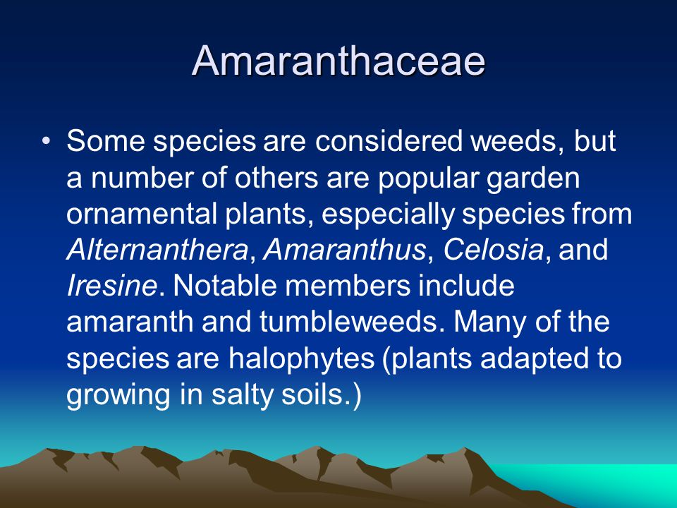 Amaranthaceae Some species are considered weeds, but a number of others are popular garden ornamental plants, especially species from Alternanthera, Amaranthus, Celosia, and Iresine.