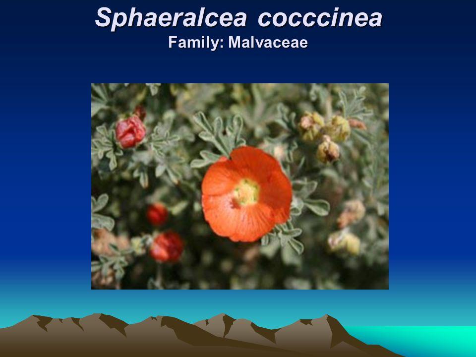 Sphaeralcea cocccinea Family: Malvaceae
