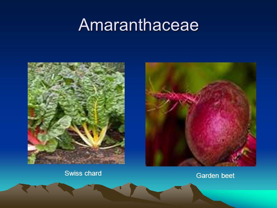 Amaranthaceae Swiss chard Garden beet