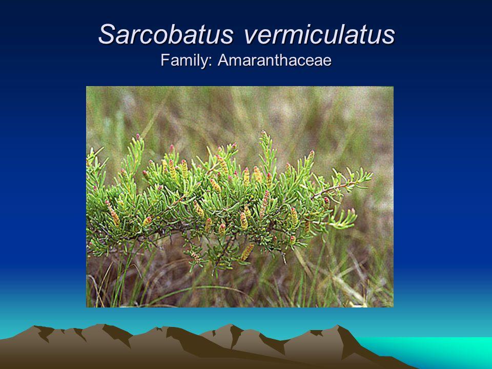 Sarcobatus vermiculatus Family: Amaranthaceae