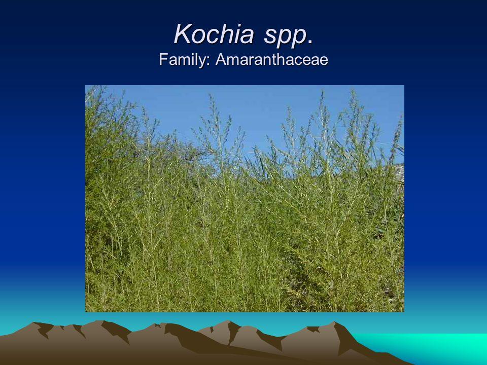 Kochia spp. Family: Amaranthaceae