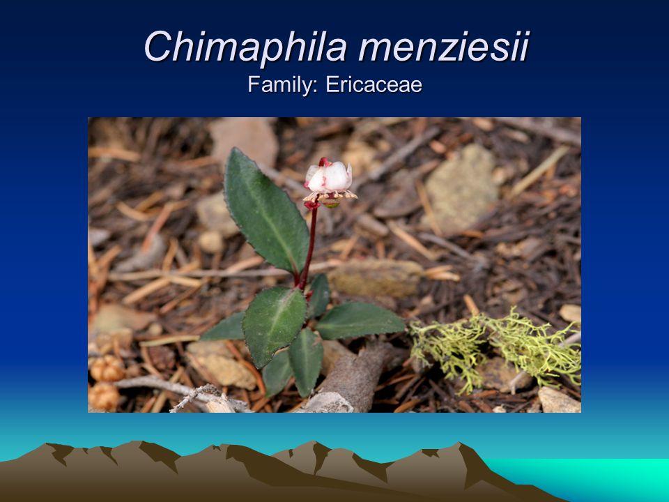 Chimaphila menziesii Family: Ericaceae