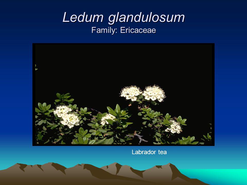 Ledum glandulosum Family: Ericaceae Labrador tea