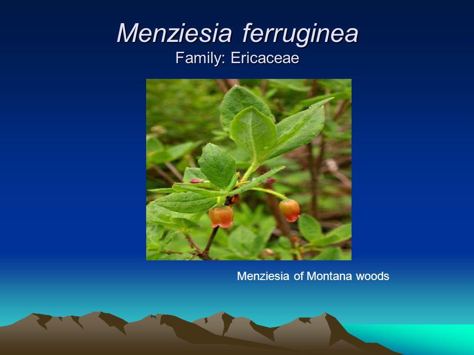 Menziesia ferruginea Family: Ericaceae Menziesia of Montana woods