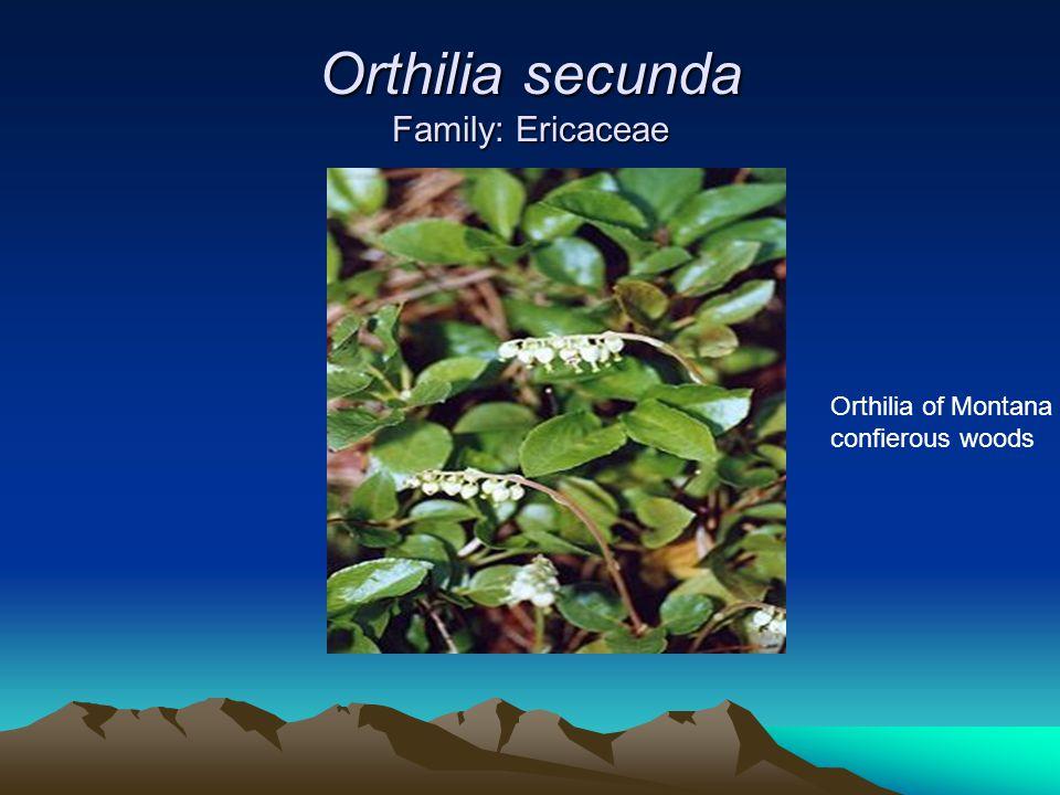 Orthilia secunda Family: Ericaceae Orthilia of Montana confierous woods