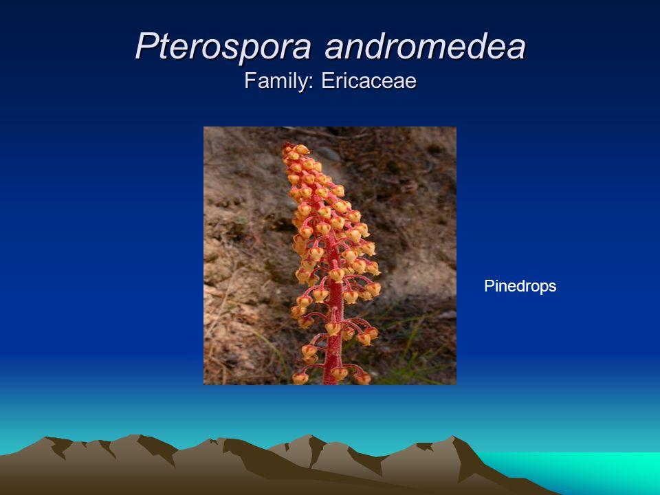 Pterospora andromedea Family: Ericaceae Pinedrops