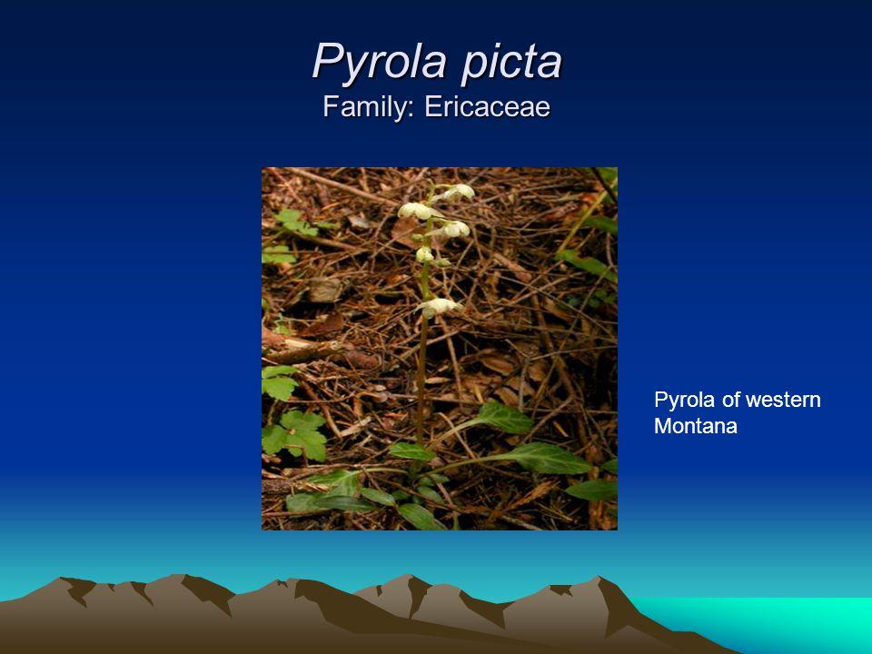 Pyrola picta Family: Ericaceae Pyrola of western Montana