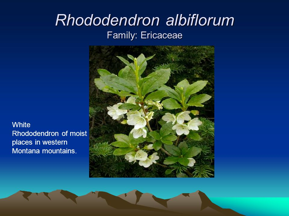 Rhododendron albiflorum Family: Ericaceae White Rhododendron of moist places in western Montana mountains.