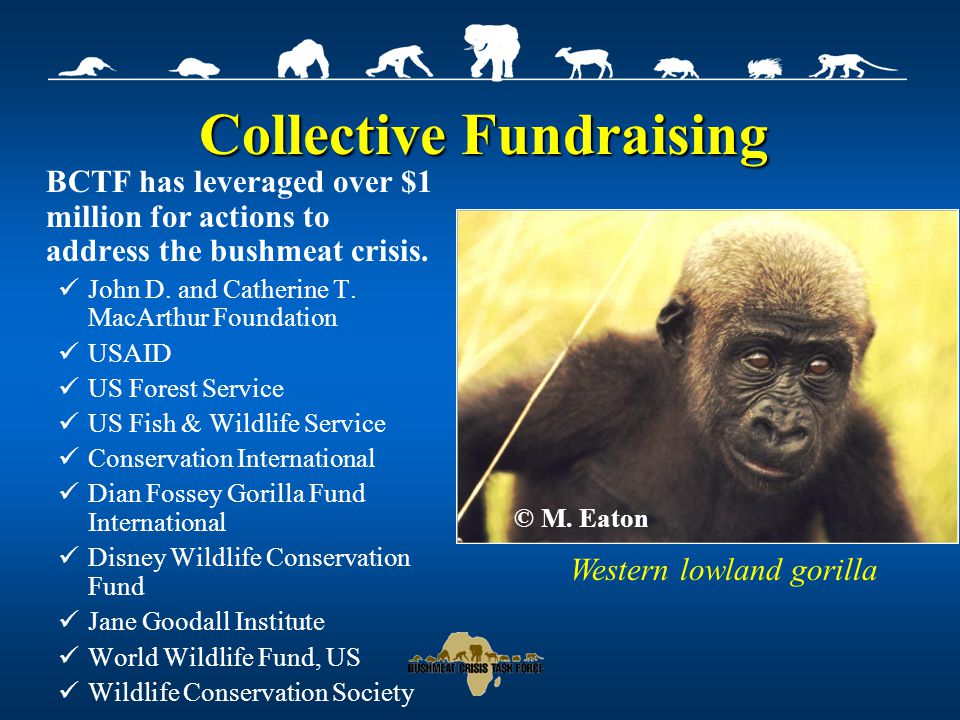 Collective Fundraising BCTF has leveraged over $1 million for actions to address the bushmeat crisis.
