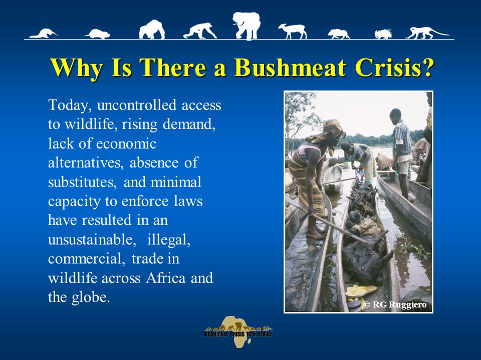 Bushmeat: A Global Problem Bushmeat is a global problem with dramatic levels of operation in Sub Saharan Africa In East Africa, bushmeat is often consumed during times of economic hardship, drought or when the need for fast cash arises 30 million consumers in Central Africa consume ~ 2.5 million metric tons of meat annually Asia and Latin America © H Noss