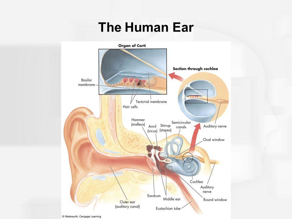 The Human Ear