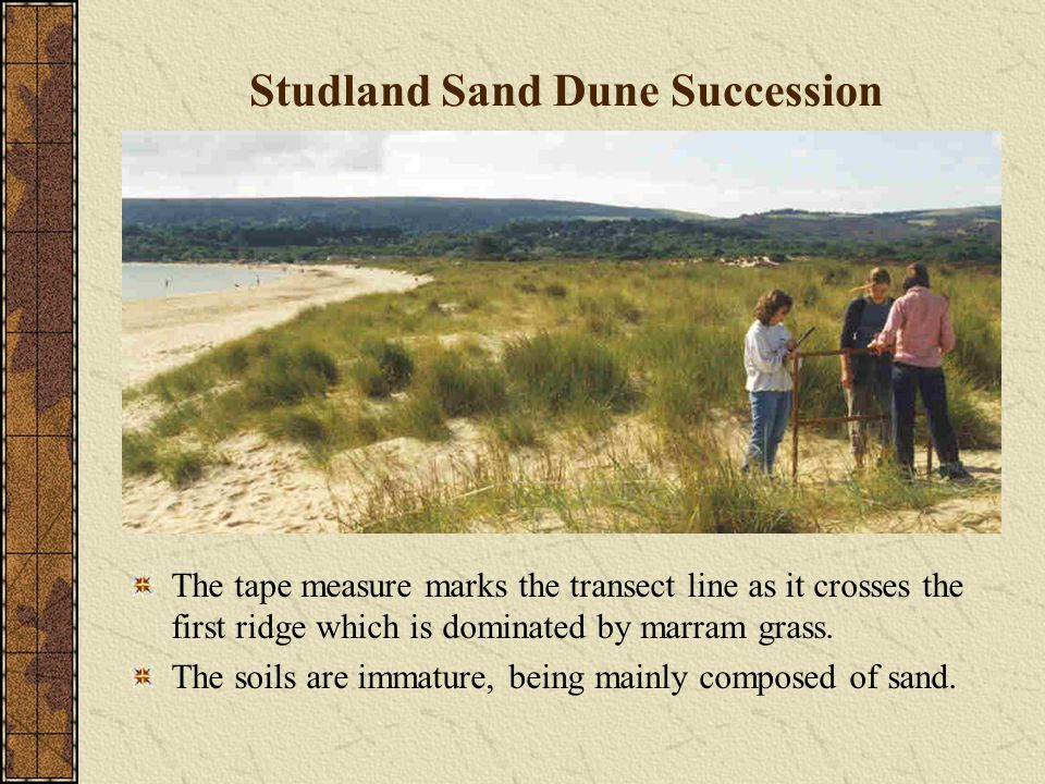 Studland Sand Dune Succession The tape measure marks the transect line as it crosses the first ridge which is dominated by marram grass.