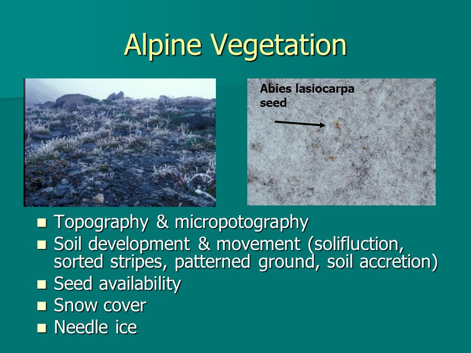 Alpine Vegetation Topography & micropotography Topography & micropotography Soil development & movement (solifluction, sorted stripes, patterned ground, soil accretion) Soil development & movement (solifluction, sorted stripes, patterned ground, soil accretion) Seed availability Seed availability Snow cover Snow cover Needle ice Needle ice Abies lasiocarpa seed