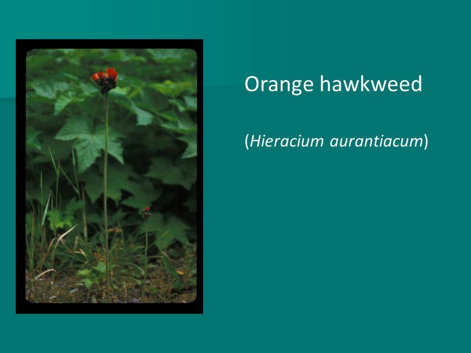 Orange hawkweed (Hieracium aurantiacum)