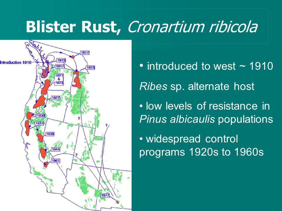 Blister Rust, Cronartium ribicola introduced to west ~ 1910 Ribes sp.