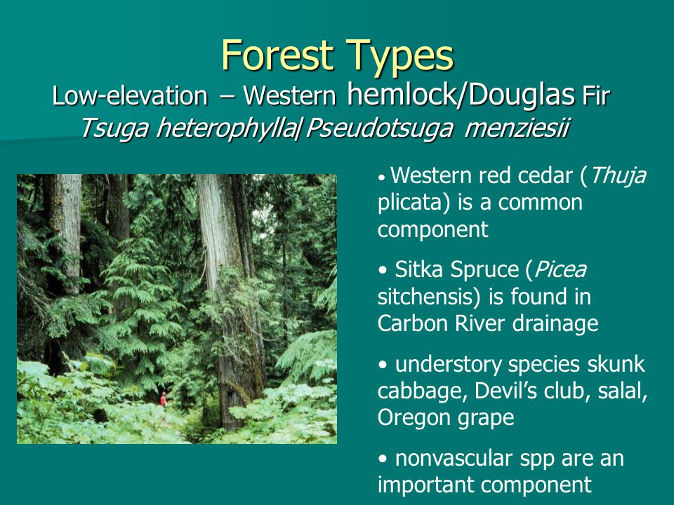 Forest Types Low-elevation – Western hemlock/Douglas Fir Tsuga heterophylla/Pseudotsuga menziesii Western red cedar (Thuja plicata) is a common component Sitka Spruce (Picea sitchensis) is found in Carbon River drainage understory species skunk cabbage, Devil's club, salal, Oregon grape nonvascular spp are an important component