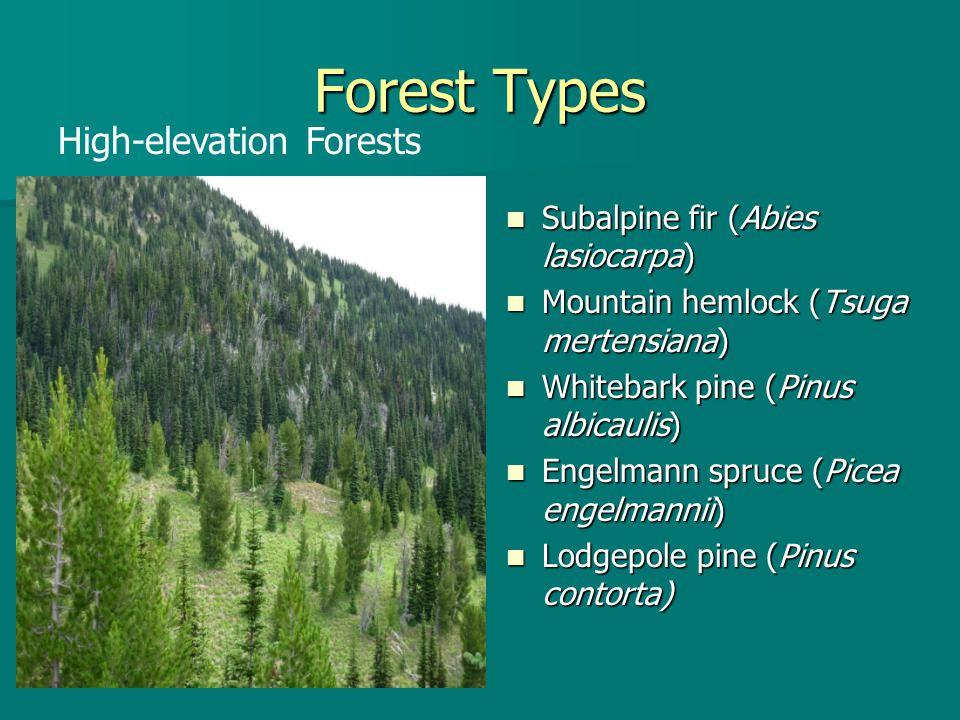 Forest Types Subalpine fir (Abies lasiocarpa) Subalpine fir (Abies lasiocarpa) Mountain hemlock (Tsuga mertensiana) Mountain hemlock (Tsuga mertensian