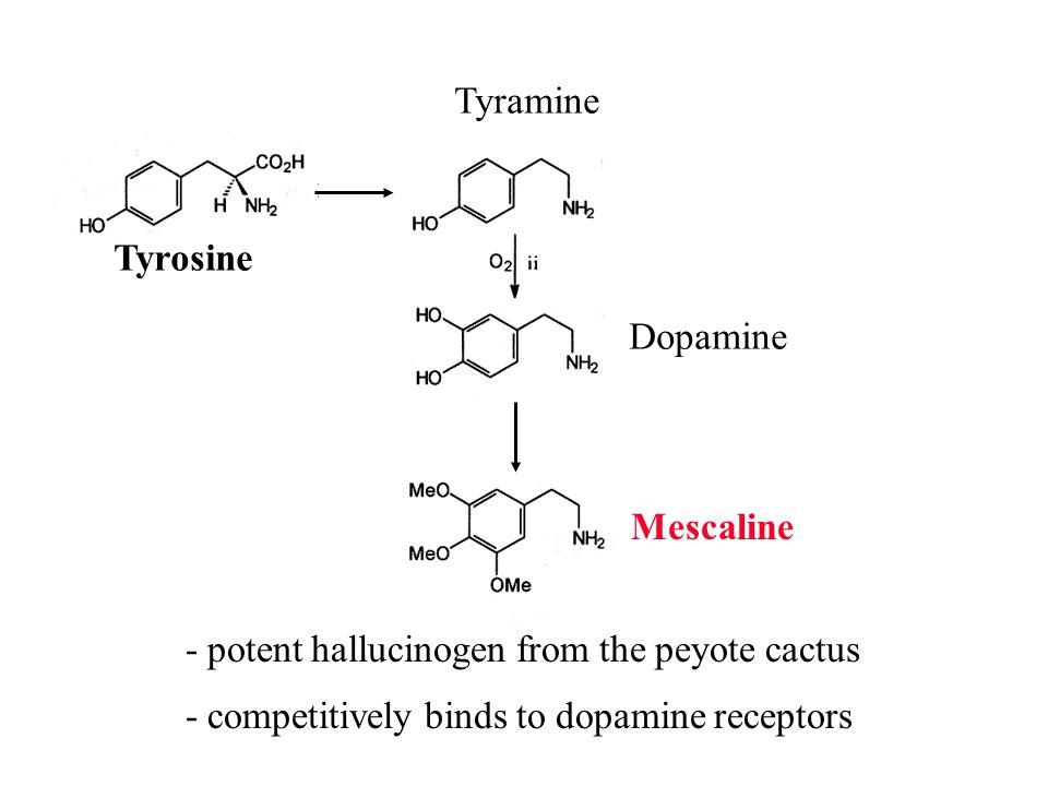 Tyrosine Tyramine Dopamine Mescaline - potent hallucinogen from the peyote cactus - competitively binds to dopamine receptors