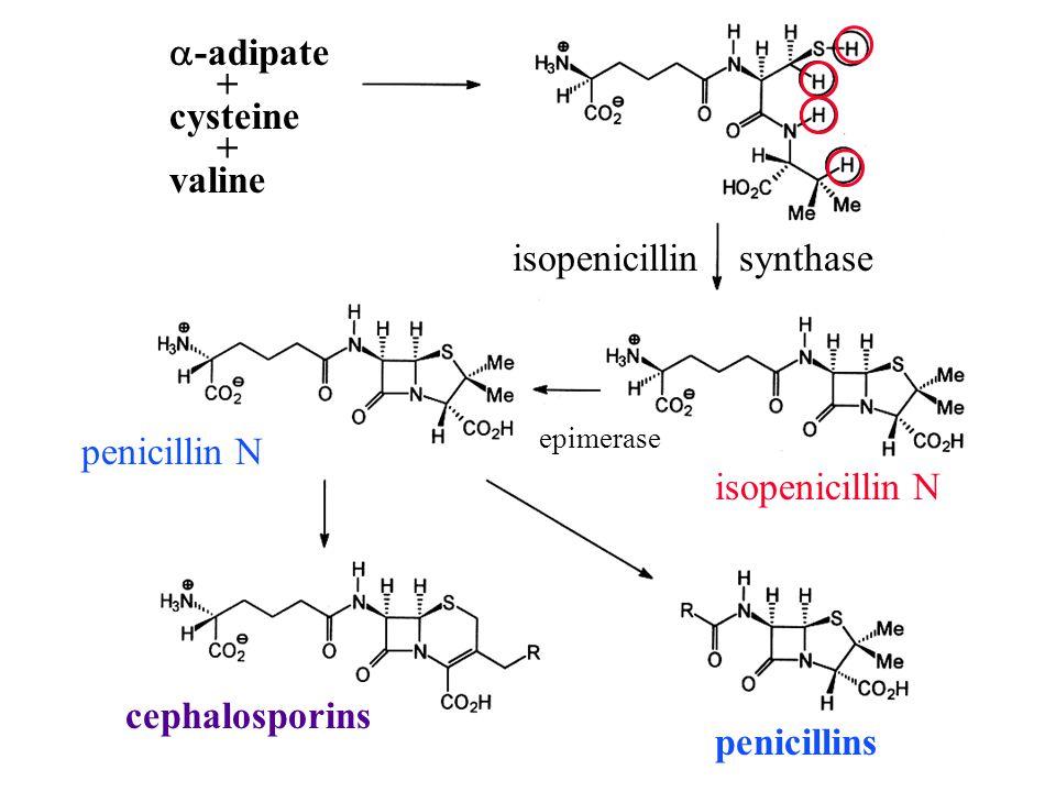  -adipate + cysteine + valine isopenicillin synthase epimerase penicillin N isopenicillin N penicillins cephalosporins