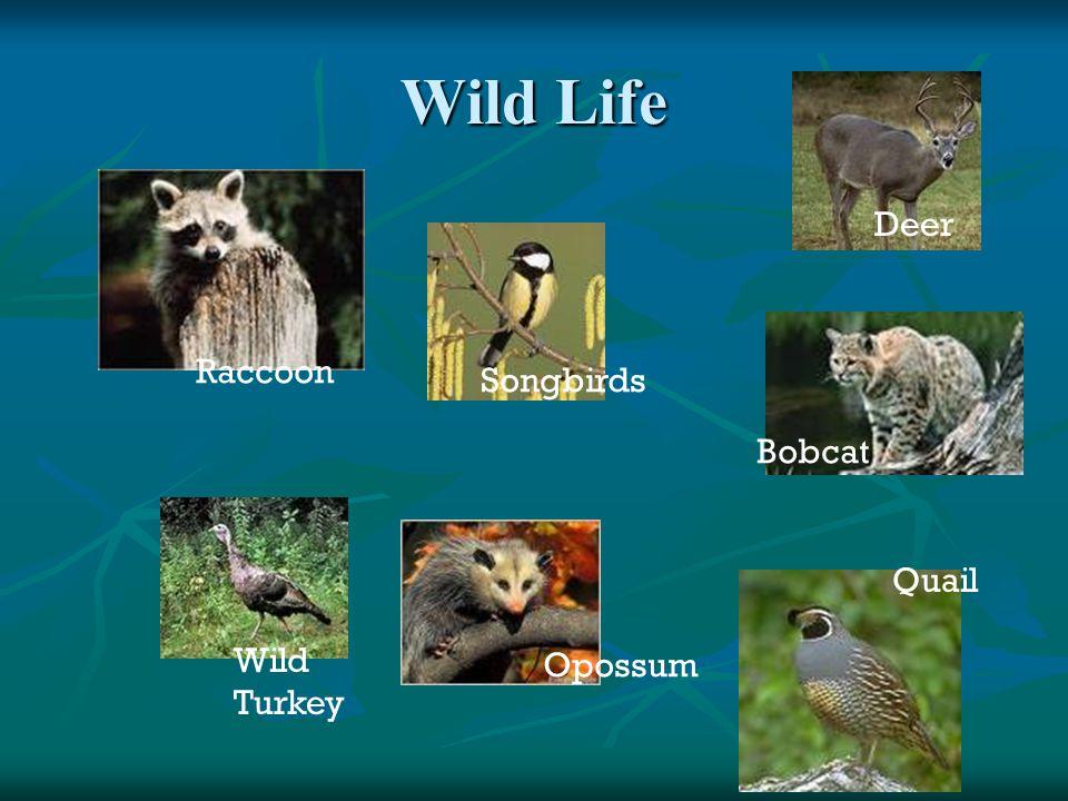 Wild Life Raccoon Songbirds Bobcat Deer Wild Turkey Opossum Quail