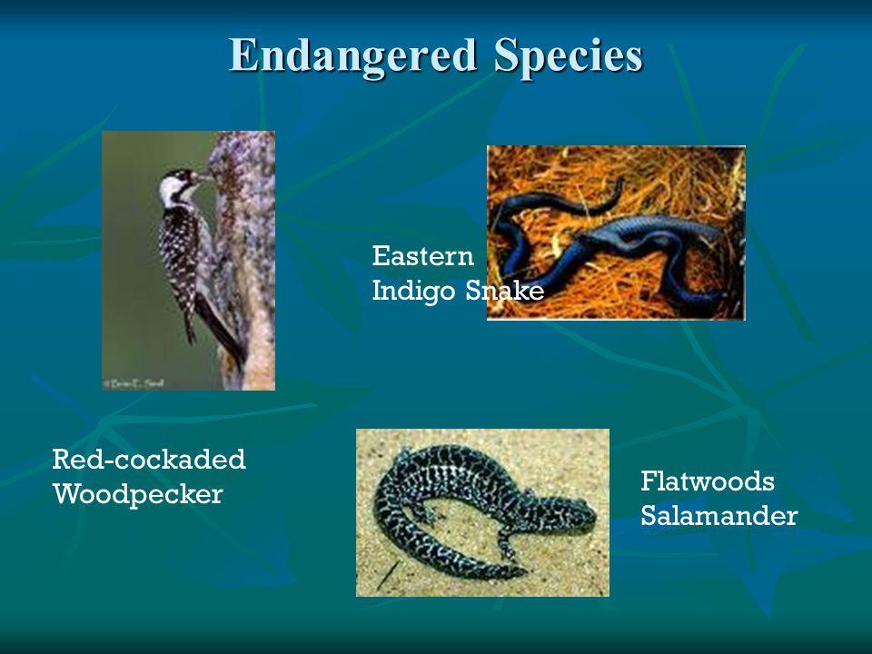 Endangered Species Red-cockaded Woodpecker Flatwoods Salamander Eastern Indigo Snake