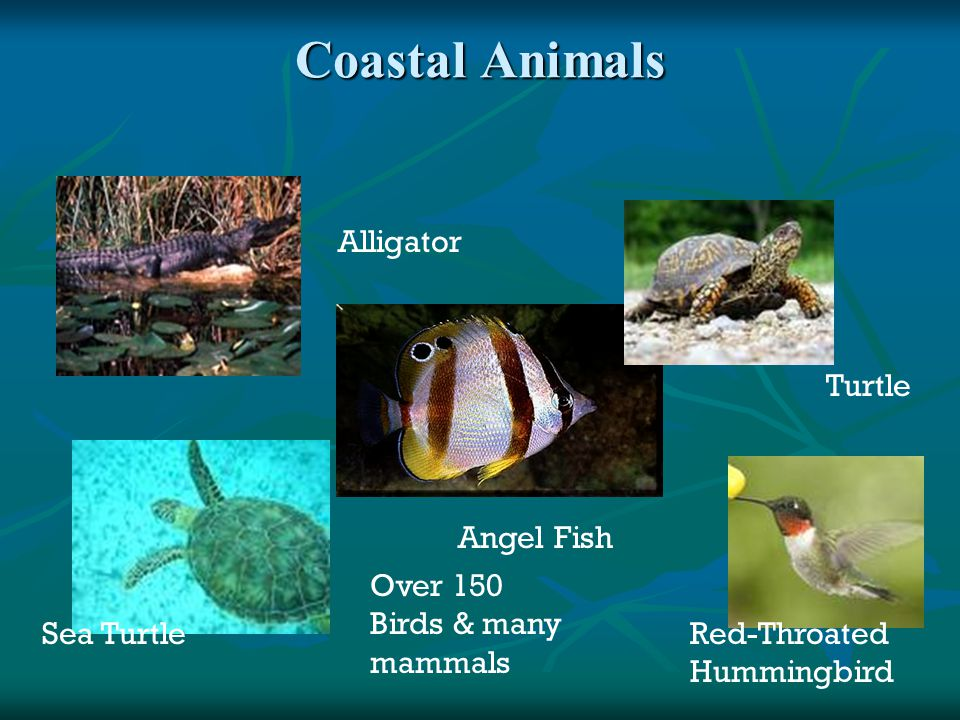 Coastal Animals Alligator Angel Fish Red-Throated Hummingbird Turtle Sea Turtle Over 150 Birds & many mammals