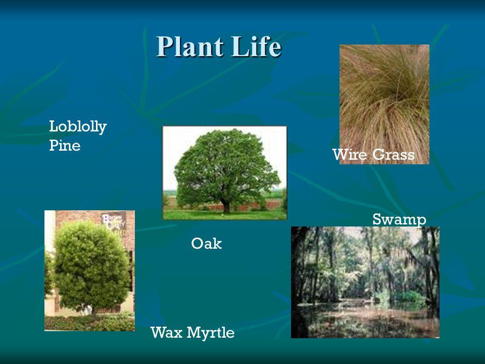 Plant Life Loblolly Pine Oak Wax Myrtle Wire Grass Swamp
