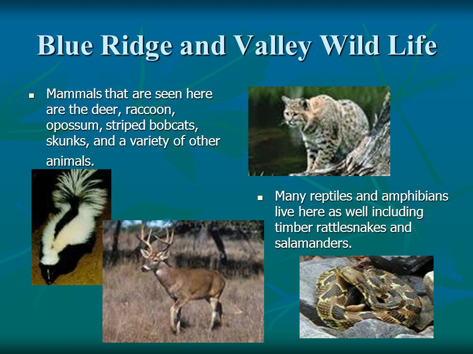 Blue Ridge and Valley Wild Life Mammals that are seen here are the deer, raccoon, opossum, striped bobcats, skunks, and a variety of other animals. Ma