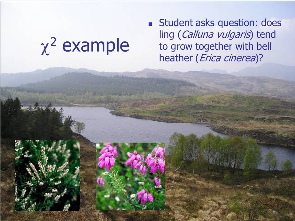  2 example Student asks question: does ling (Calluna vulgaris) tend to grow together with bell heather (Erica cinerea)?
