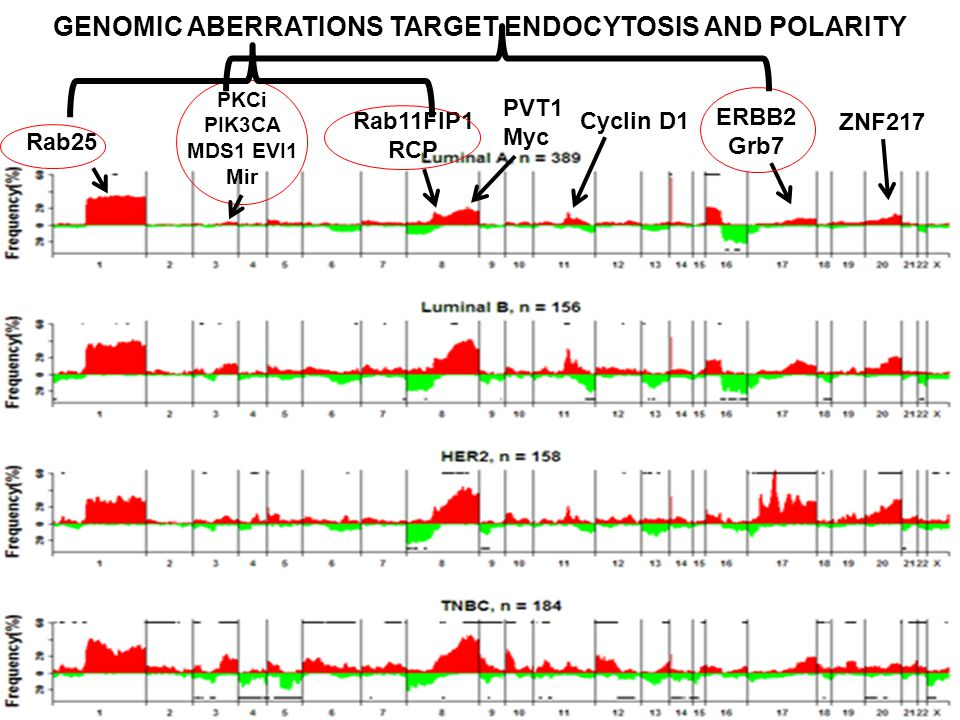 GENOMIC ABERRATIONS TARGET ENDOCYTOSIS AND POLARITY PKCi PIK3CA MDS1 EVI1 Mir PVT1 Myc Rab11FIP1 RCP Rab25 ZNF217 Cyclin D1 ERBB2 Grb7