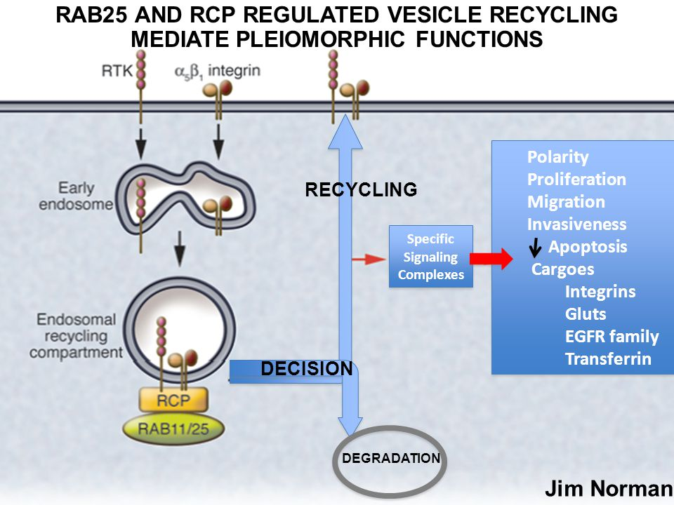 DEGRADATION RECYCLING DECISION Specific Signaling Complexes RAB25 AND RCP REGULATED VESICLE RECYCLING MEDIATE PLEIOMORPHIC FUNCTIONS Polarity Proliferation Migration Invasiveness Apoptosis Cargoes Integrins Gluts EGFR family Transferrin Polarity Proliferation Migration Invasiveness Apoptosis Cargoes Integrins Gluts EGFR family Transferrin Jim Norman