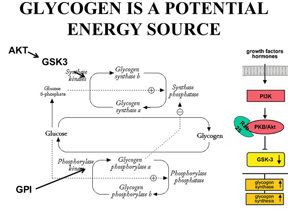 GLYCOGEN IS A POTENTIAL ENERGY SOURCE GSK3 AKT GPI Rab 25