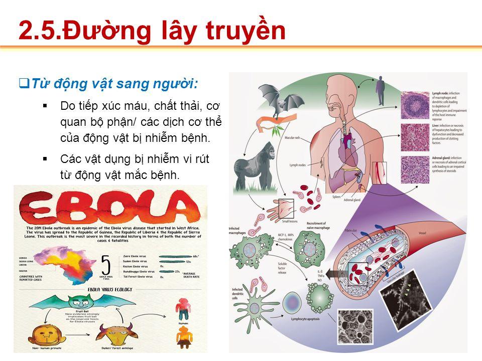  Dơi nhiễm VR tiếp xúc các loài động vật  gây dịch lớn ở gorrila, tinh tinh, khỉ, linh dương.  Tiếp xúc trực tiếp với máu, mô, chất tiết, dịch tiết