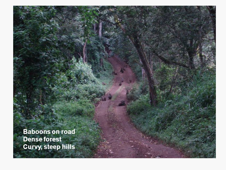 One of many pictures of giraffes Baboons on road Dense forest Curvy, steep hills