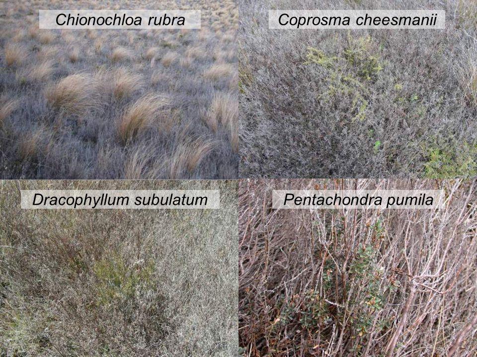Dracophyllum subulatum Chionochloa rubraCoprosma cheesmanii Pentachondra pumila