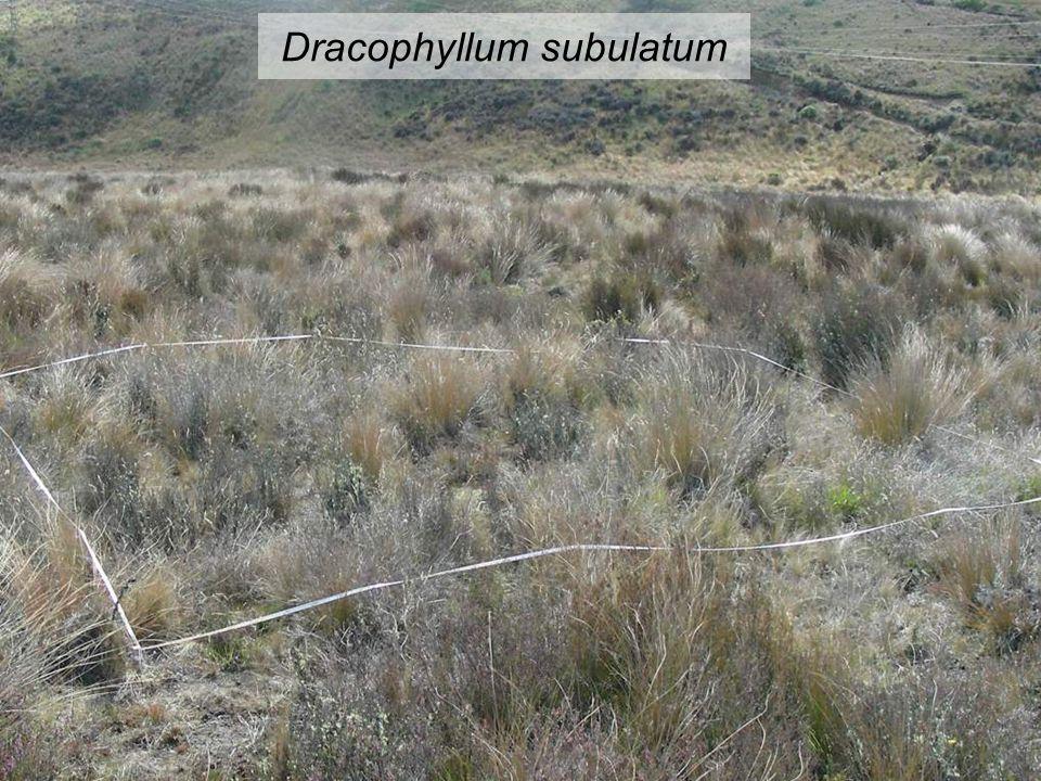 Dracophyllum subulatum