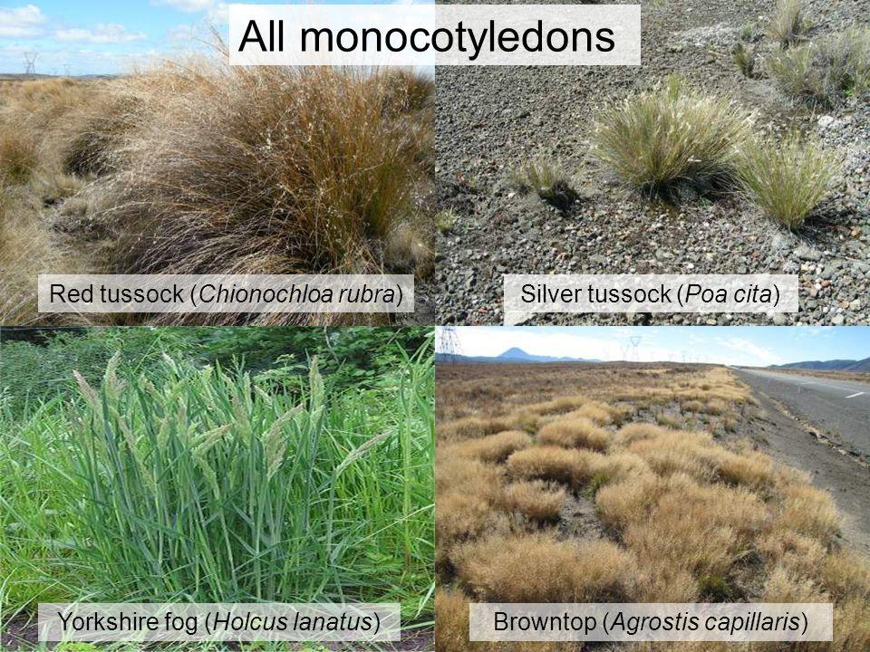 All monocotyledons Browntop (Agrostis capillaris)Yorkshire fog (Holcus lanatus) Red tussock (Chionochloa rubra)Silver tussock (Poa cita)