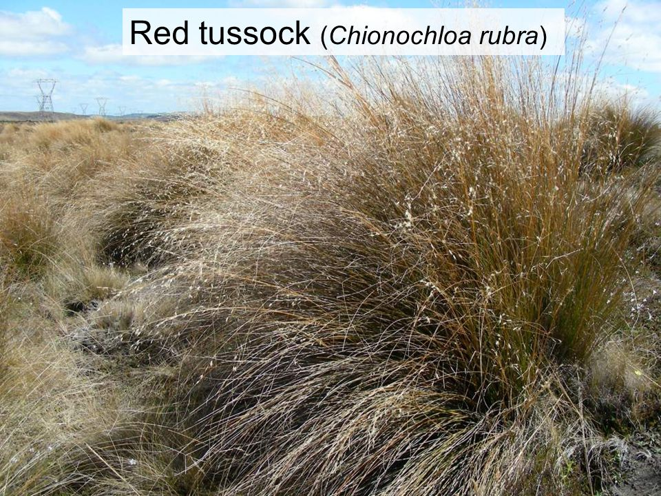 Red tussock (Chionochloa rubra)