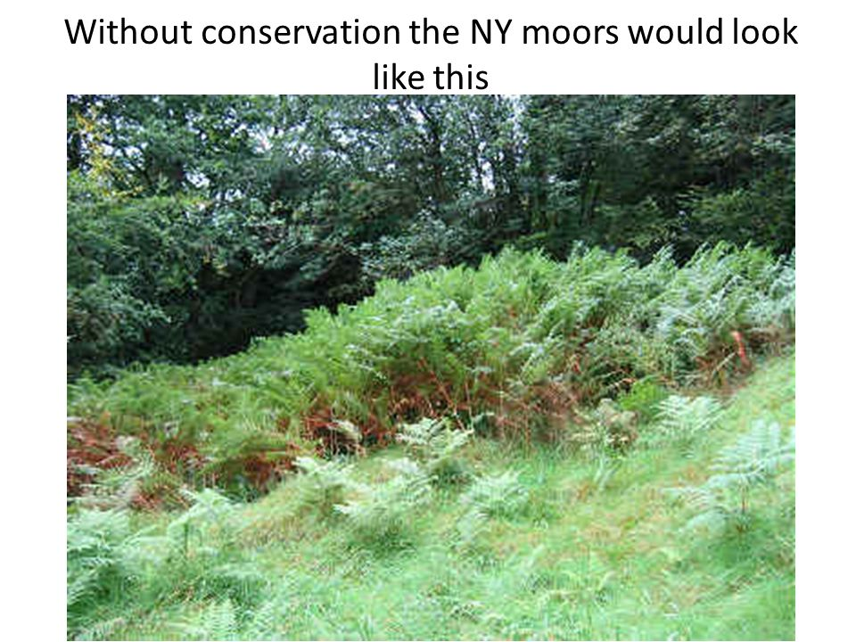 Without conservation the NY moors would look like this