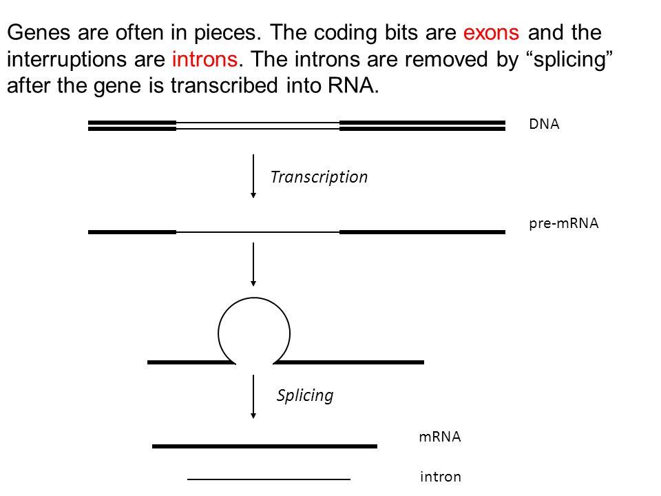 DNA pre-mRNA Transcription Splicing mRNA intron Genes are often in pieces.