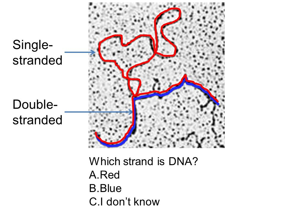 Single- stranded Double- stranded Which strand is DNA? A.Red B.Blue C.I don't know