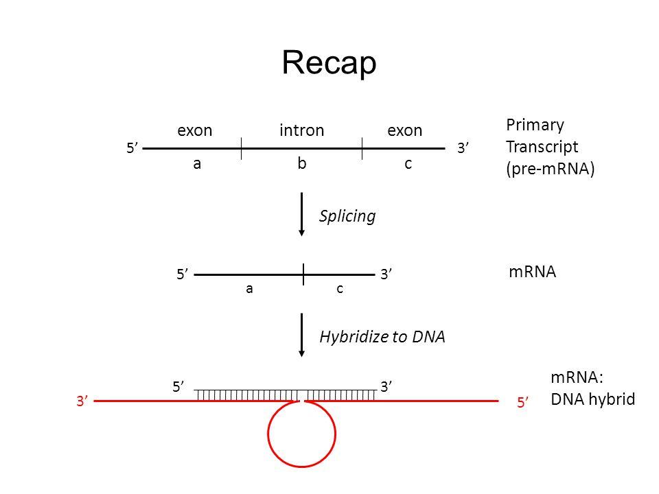 abc exon intron ac 5'3' Splicing 5'3' Primary Transcript (pre-mRNA) Hybridize to DNA mRNA mRNA: DNA hybrid Recap 5'3' 5'