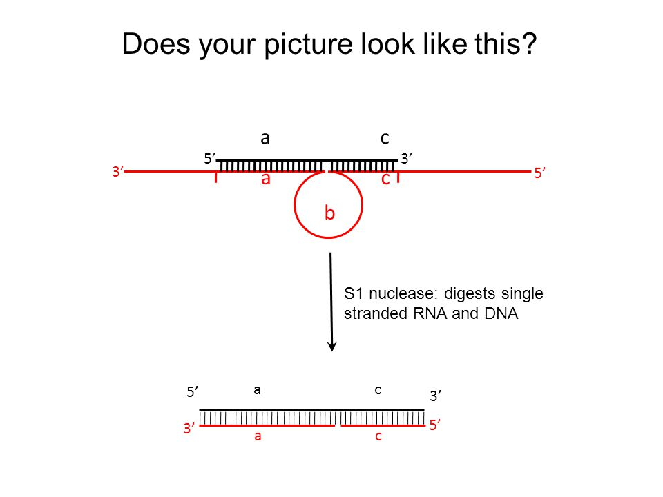 5'3' 5' ac ac b S1 nuclease: digests single stranded RNA and DNA Does your picture look like this.