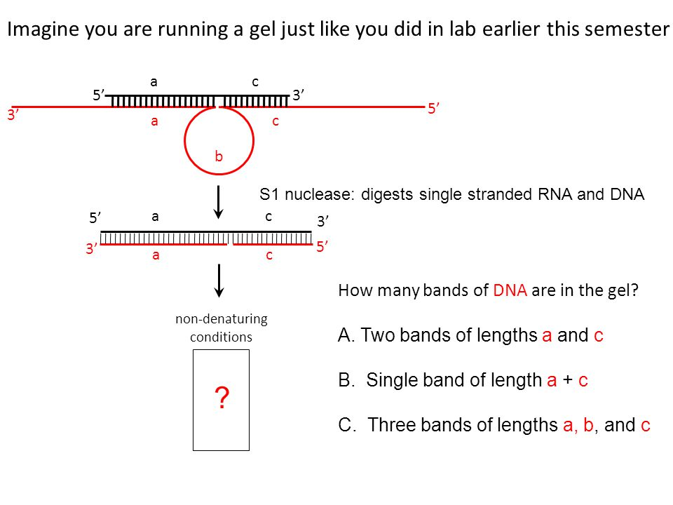 non-denaturing conditions ? How many bands of DNA are in the gel? A. Two bands of lengths a and c B. Single band of length a + c C. Three bands of len