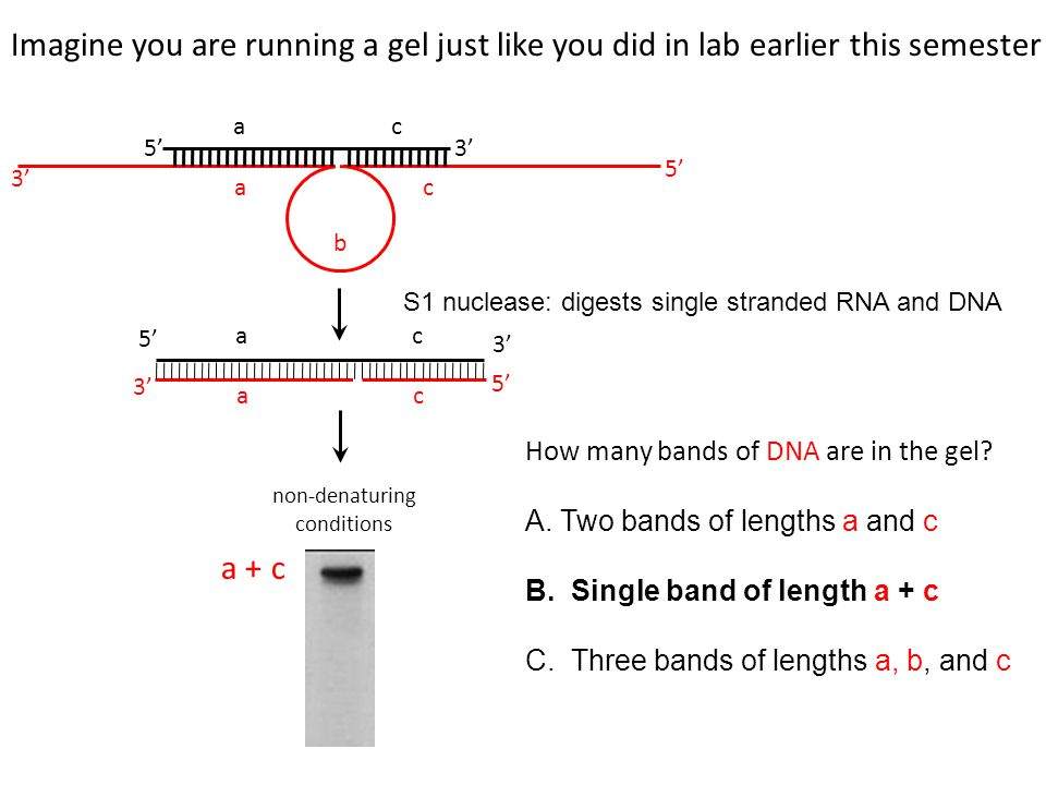 non-denaturing conditions How many bands of DNA are in the gel.