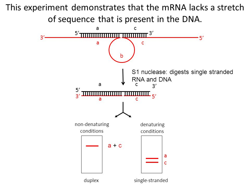 5'3' 5' ac ac b duplex non-denaturing conditions a c single-stranded denaturing conditions 5' 3' 5' ac ac a + c This experiment demonstrates that the mRNA lacks a stretch of sequence that is present in the DNA.