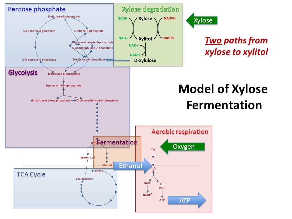 Pentose phosphate Aerobic respiration Fermentation TCA Cycle Model of Xylose Fermentation Xylose Oxygen Ethanol ATP Two paths from xylose to xylitol