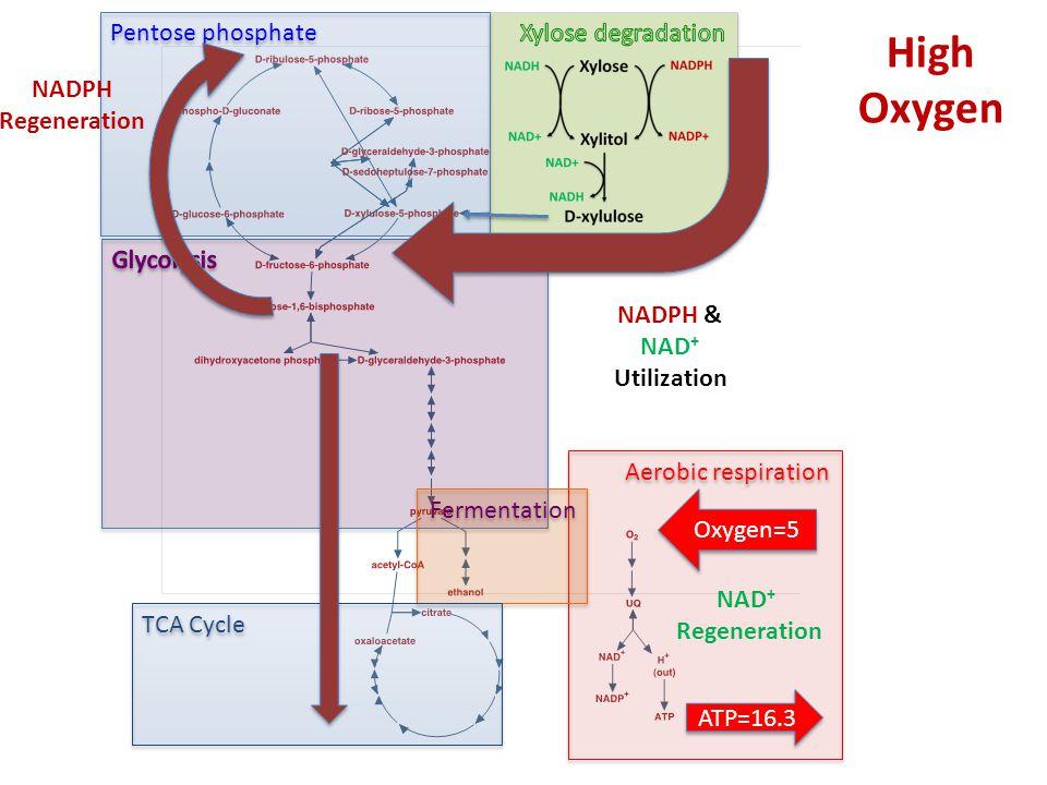 Pentose phosphate Aerobic respiration Fermentation TCA Cycle Oxygen=5 ATP=16.3 NADPH Regeneration NADPH & NAD + Utilization High Oxygen NAD + Regeneration