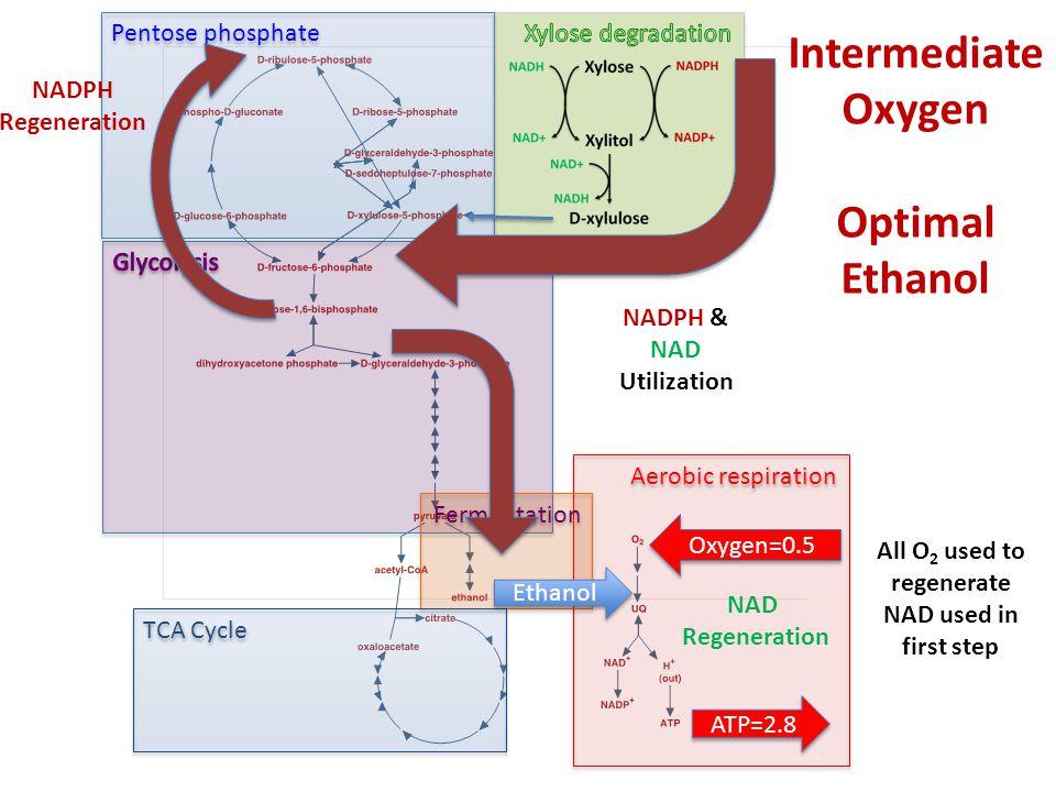 Pentose phosphate Aerobic respiration Fermentation TCA Cycle Ethanol Intermediate Oxygen Optimal Ethanol NADPH & NAD Utilization Oxygen=0.5 ATP=2.8 NAD Regeneration NADPH Regeneration All O 2 used to regenerate NAD used in first step
